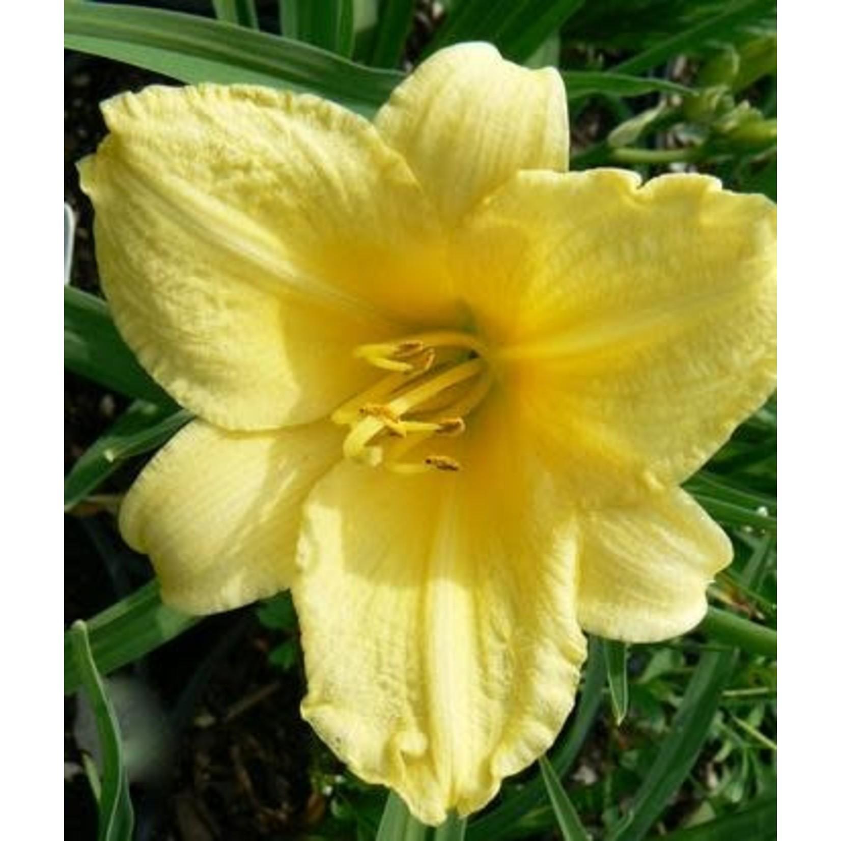 Daylily - Hemerocallis 'happy returns'