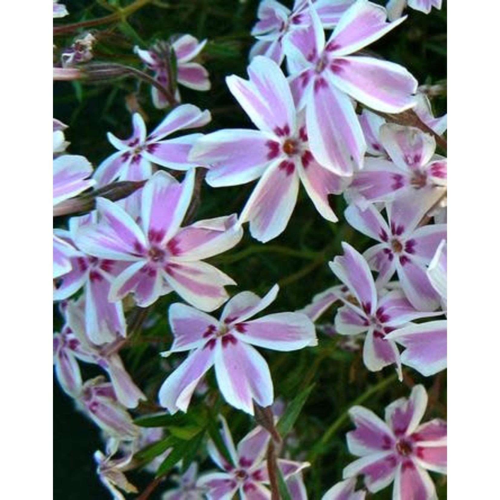 Creeping Phlox - Candy Stripes