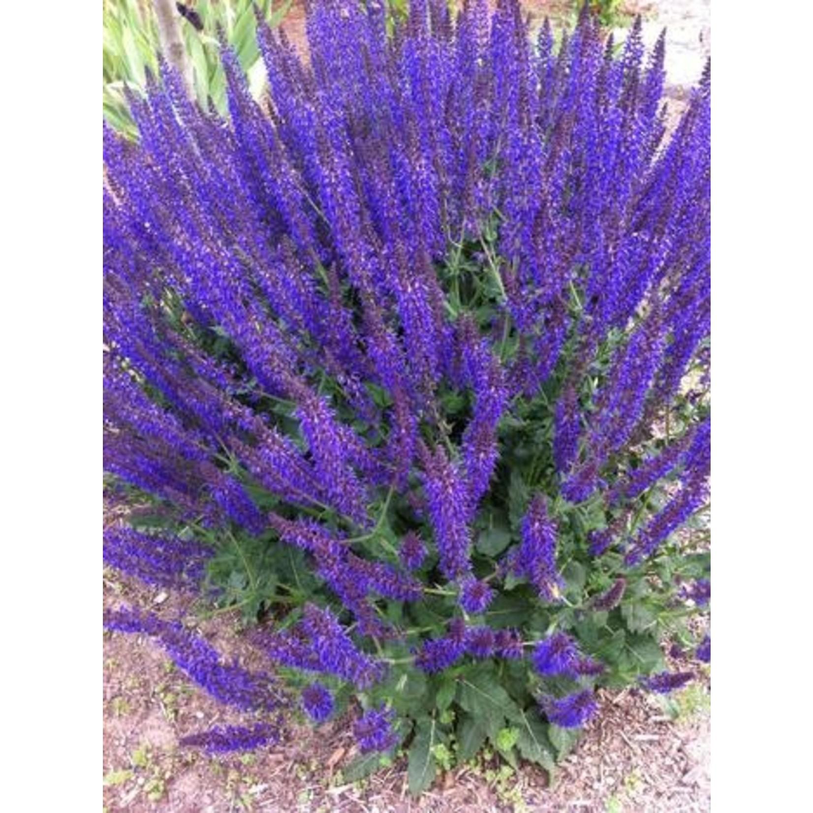 Perennial Sage - Salvia May Night