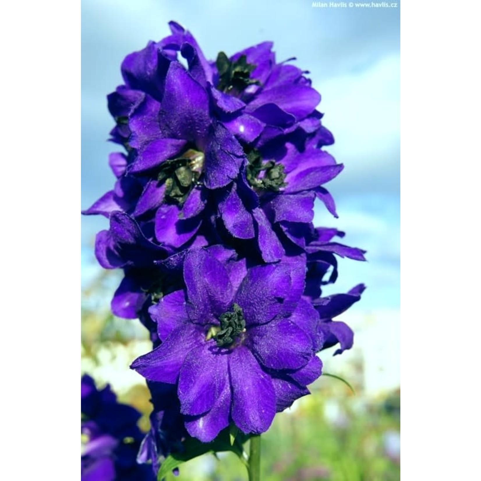"Delphinium 'blue black bee' - 4"""