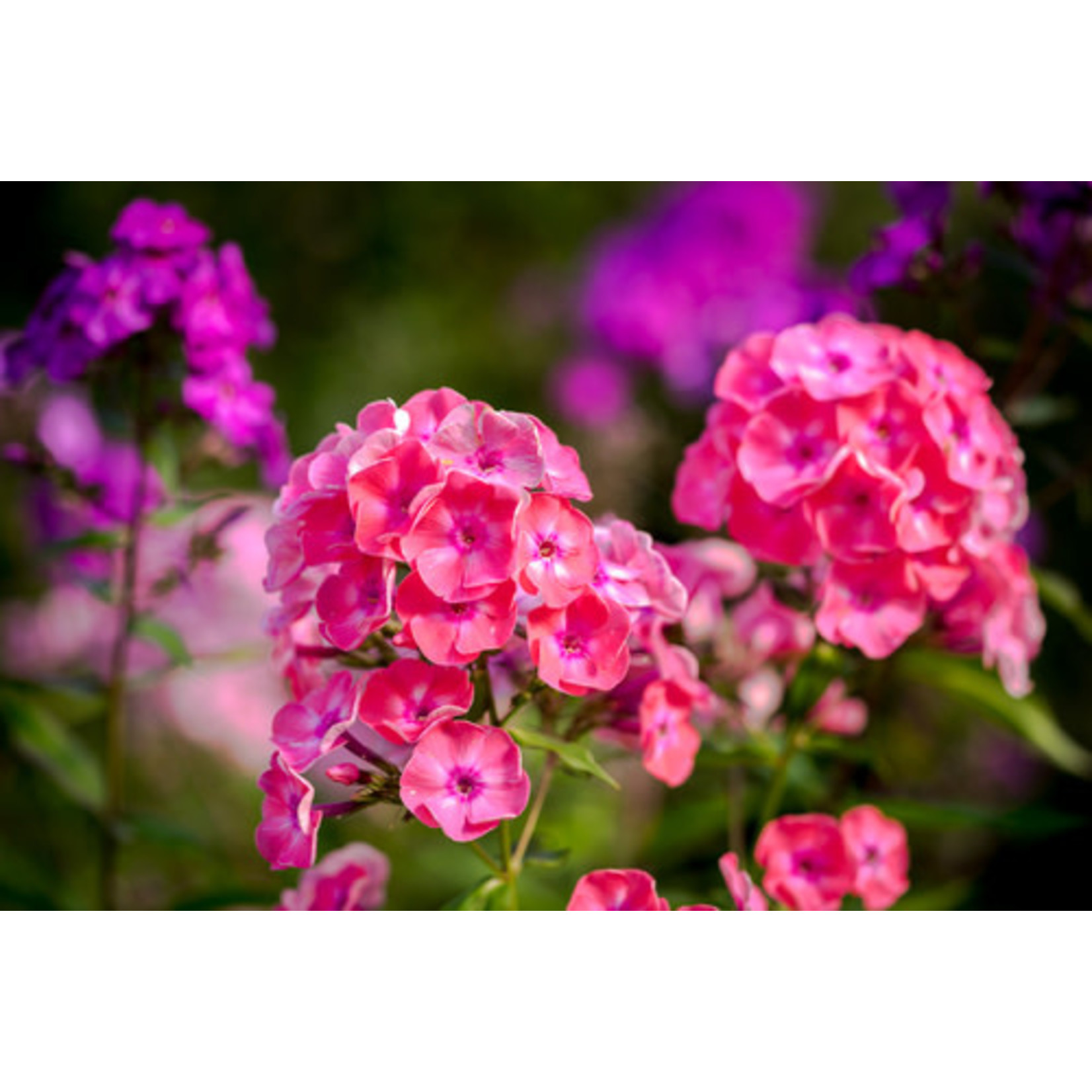 "Garden Phlox 'laura' - 4"""
