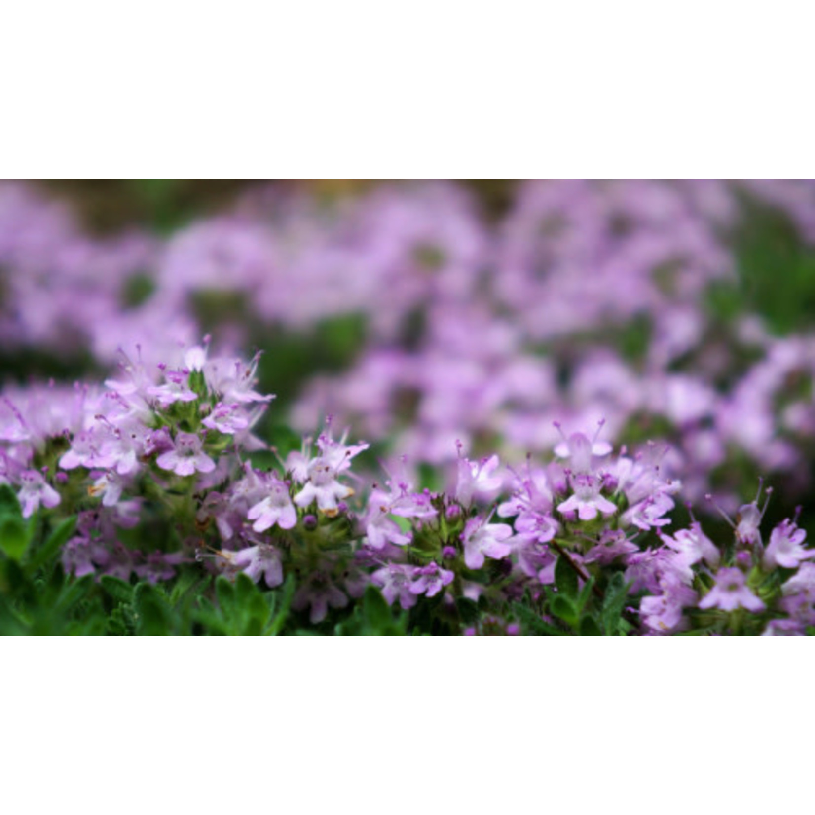 """Thyme 'Woolly' - 4"""""""