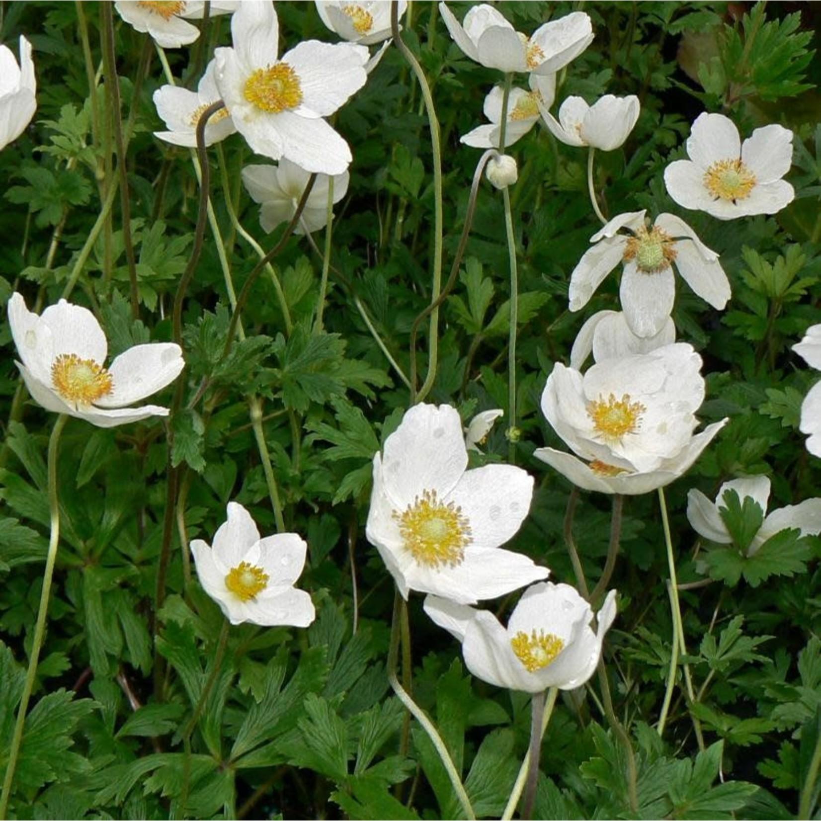 "Anemone 'sylvertris' - 4"""