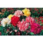 """4"""" Perennial\ Carnation 'grenadin mix' - 4"""""""