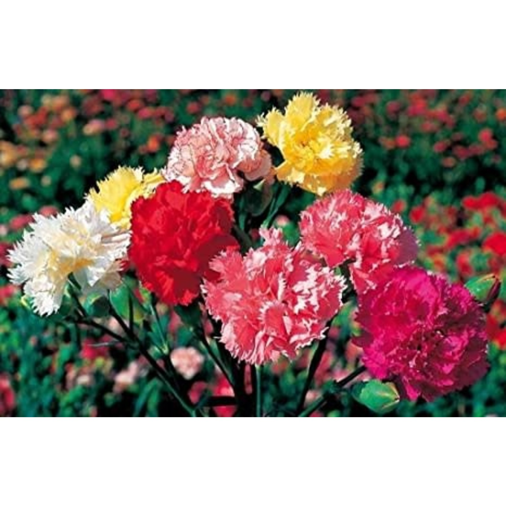 Carnation 'grenadin mix' - 4""