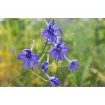 "4"" Perennial\ Delphinium 'butterfly blue' - 4"""