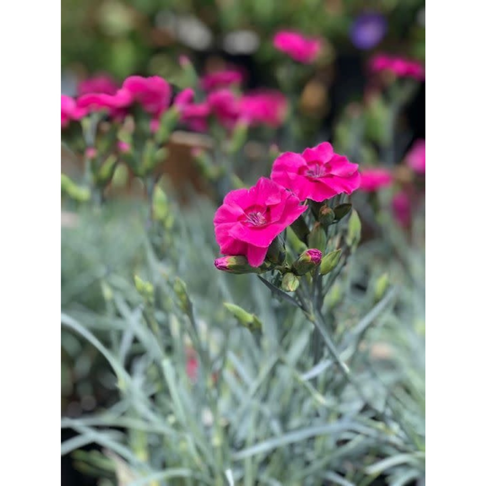 Dianthus 'bumbleberry pie' - 1 gal