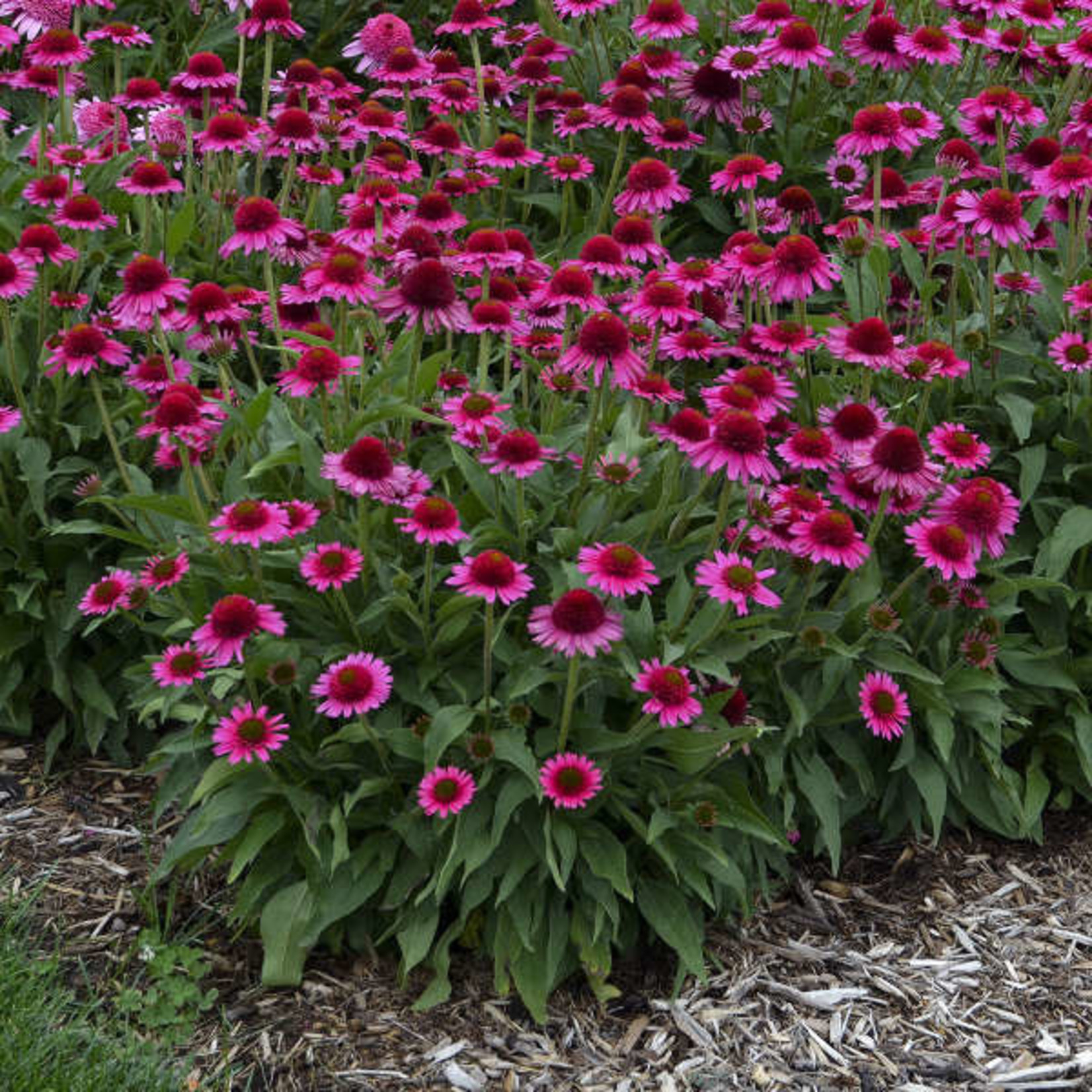 Echinacea 'delicious candy' - 1 gal