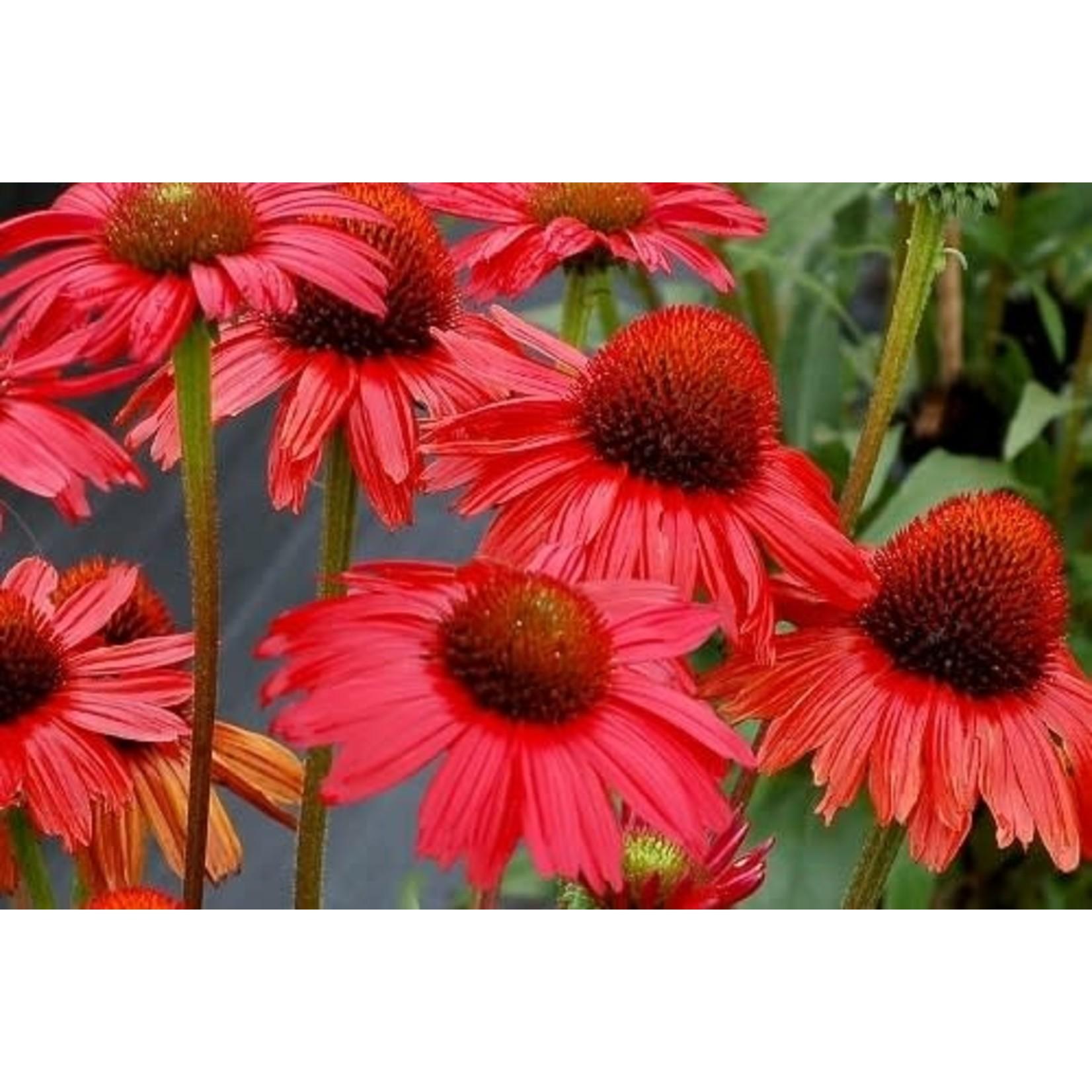 Echinacea 'kismet red' - 1 gal
