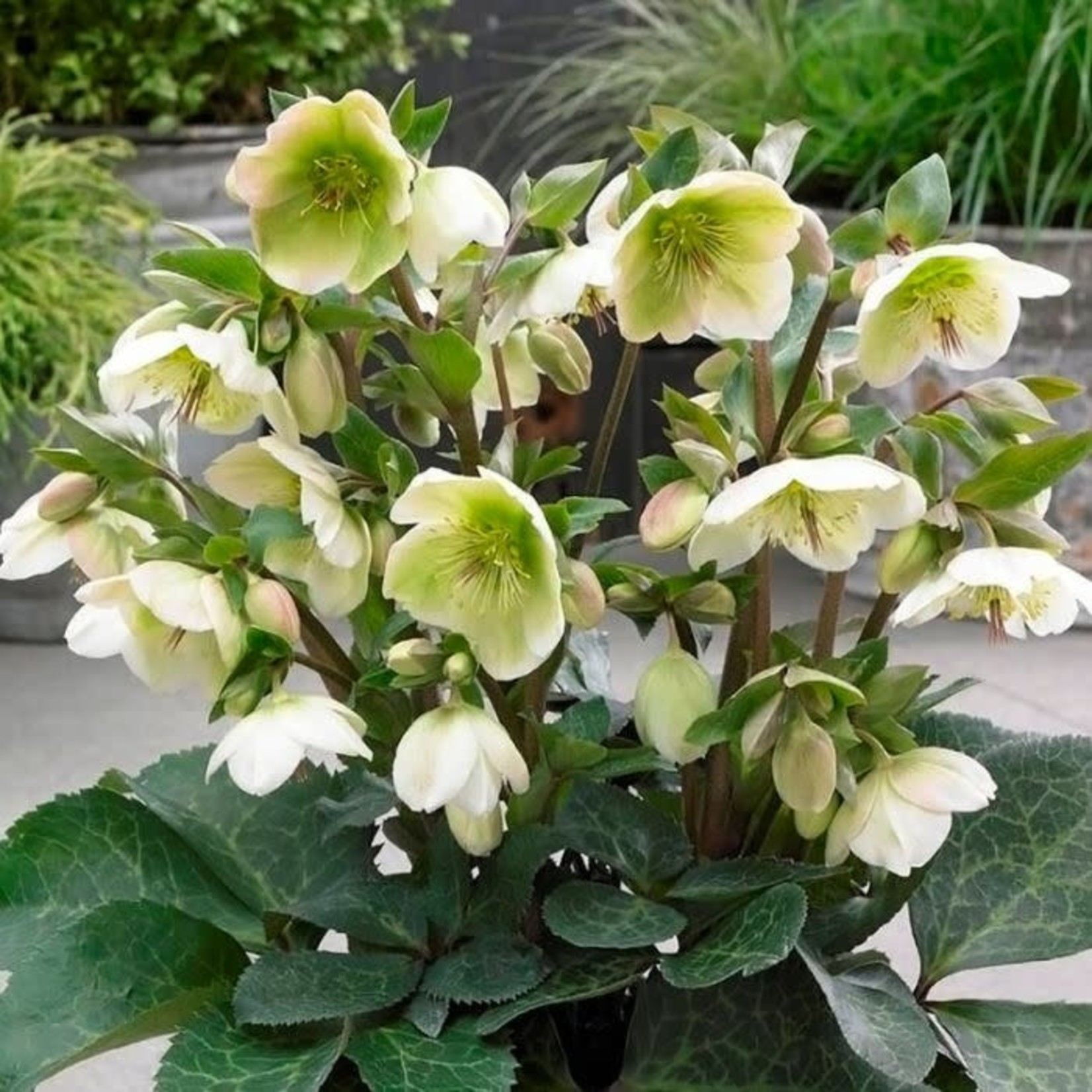 Helleborus 'molly's white' - 1 gal