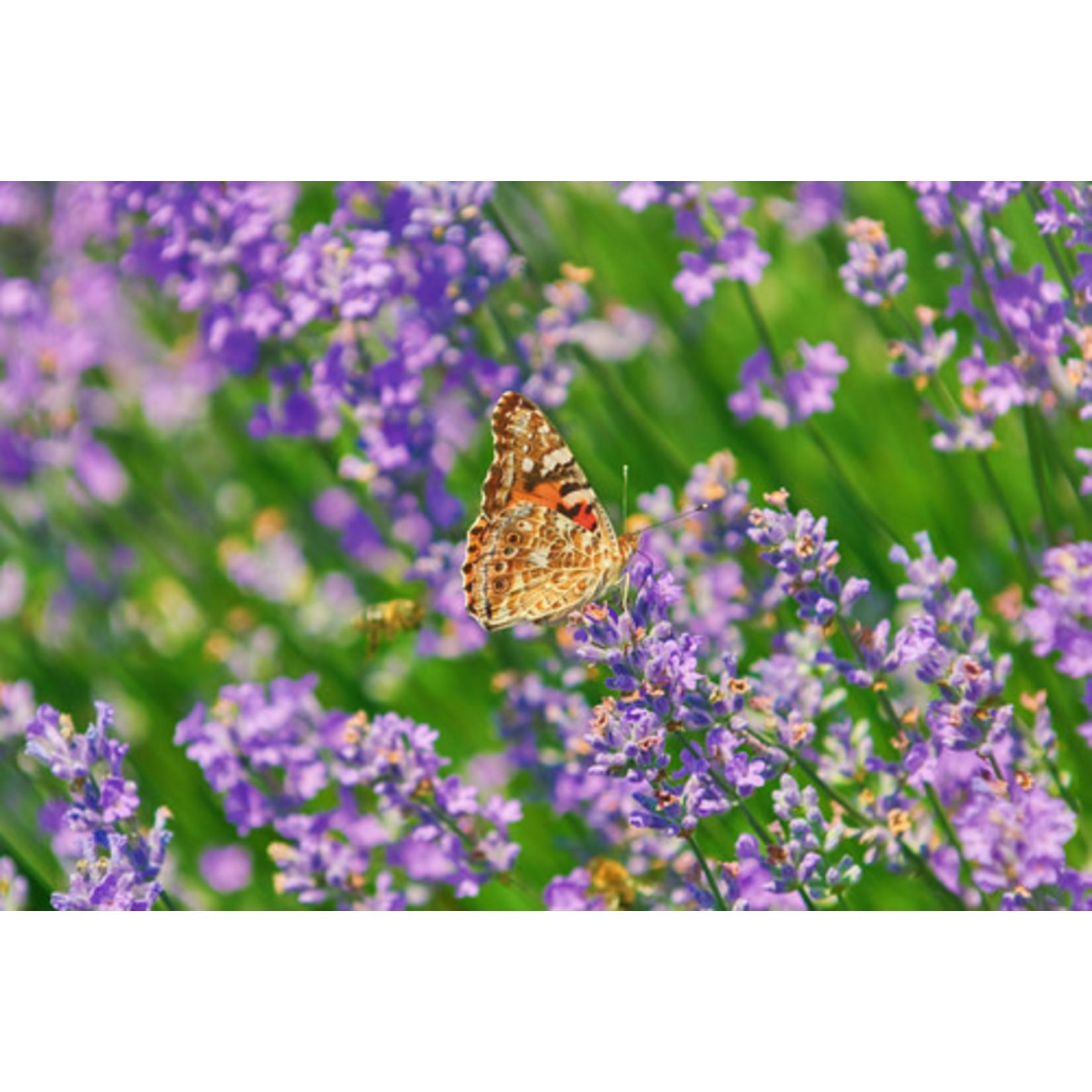 Lavender - Lavandula Phenomenal