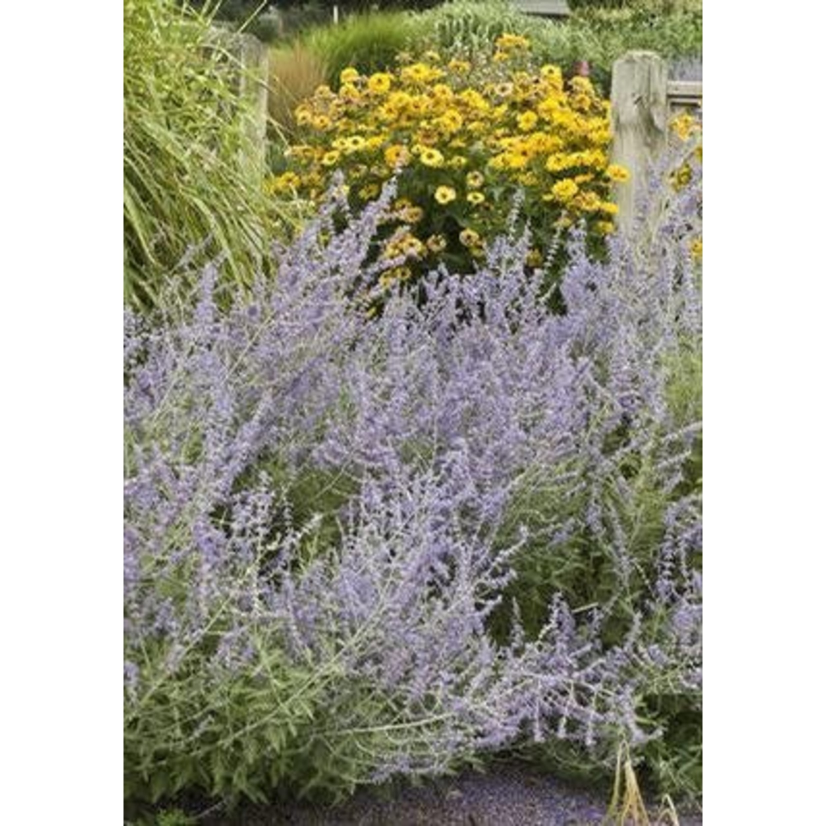 "4"" Perennial\ Russian Sage - Blue Jean Baby - Perovskia Atriplicifolia"