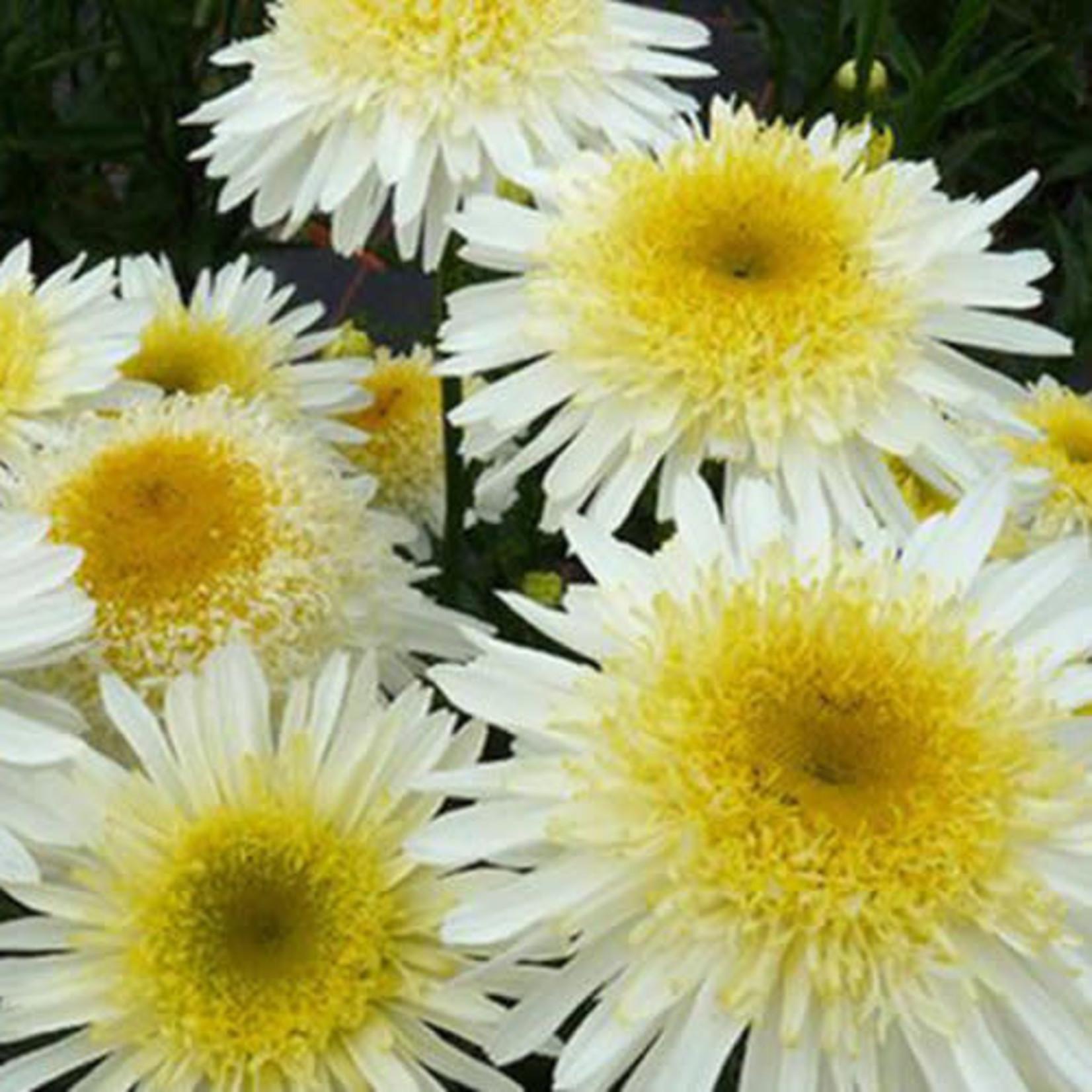 Shasta Daisy 'real glory' - 1 gal