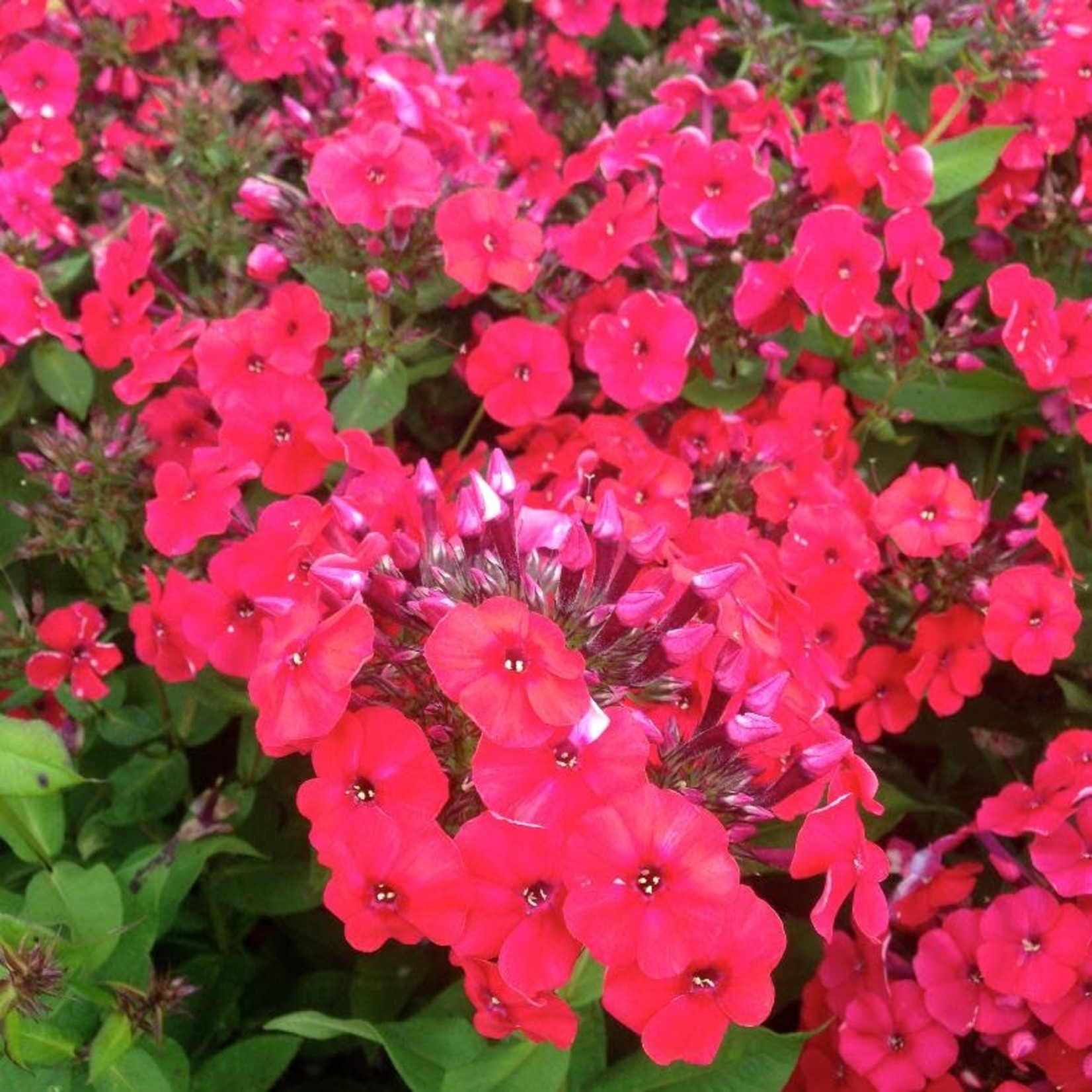 Garden Phlox 'red riding hood' - 1 gal