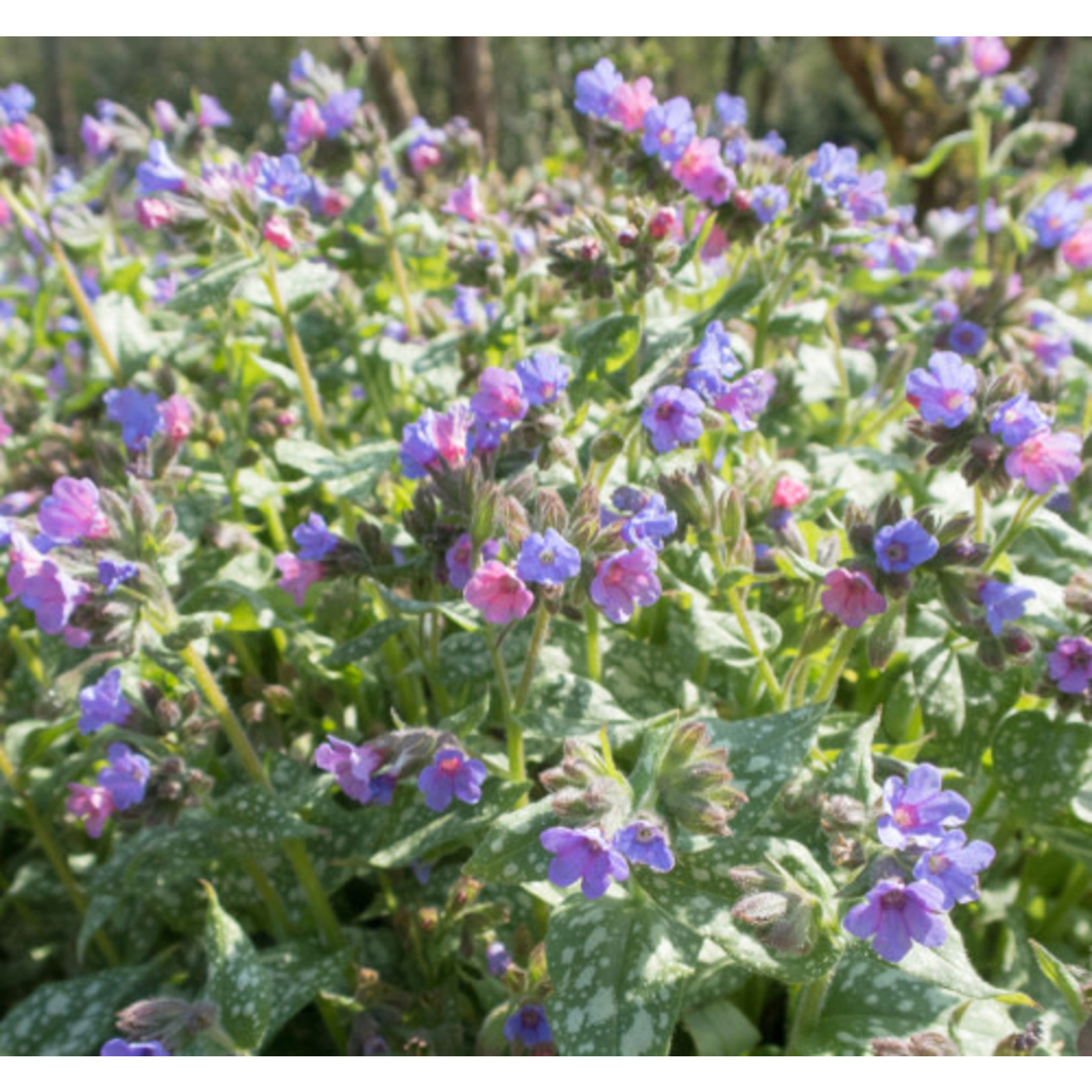 Lungwort 'trevi fountain' - 1 gal