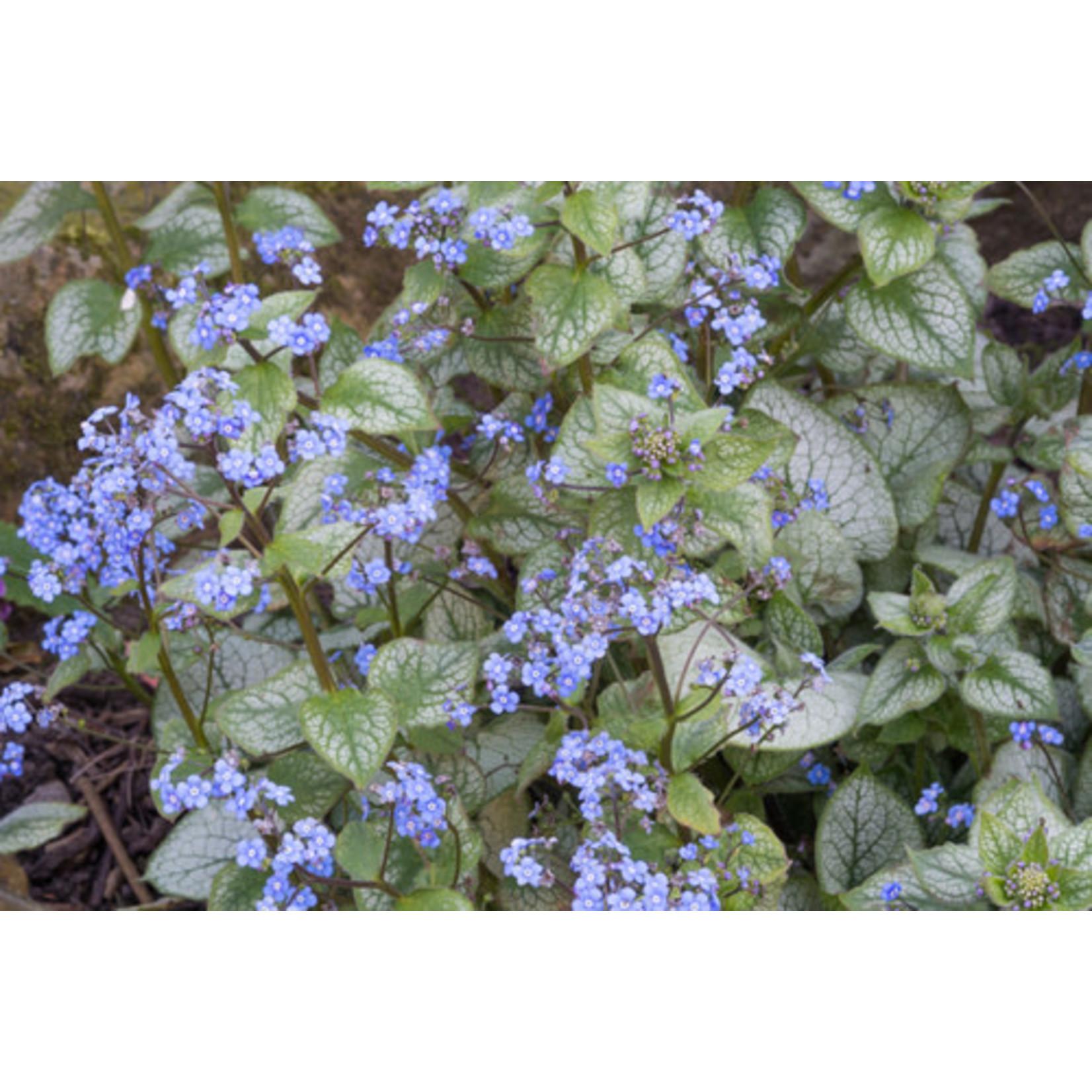 Brunnera 'jack frost' - 1 gal