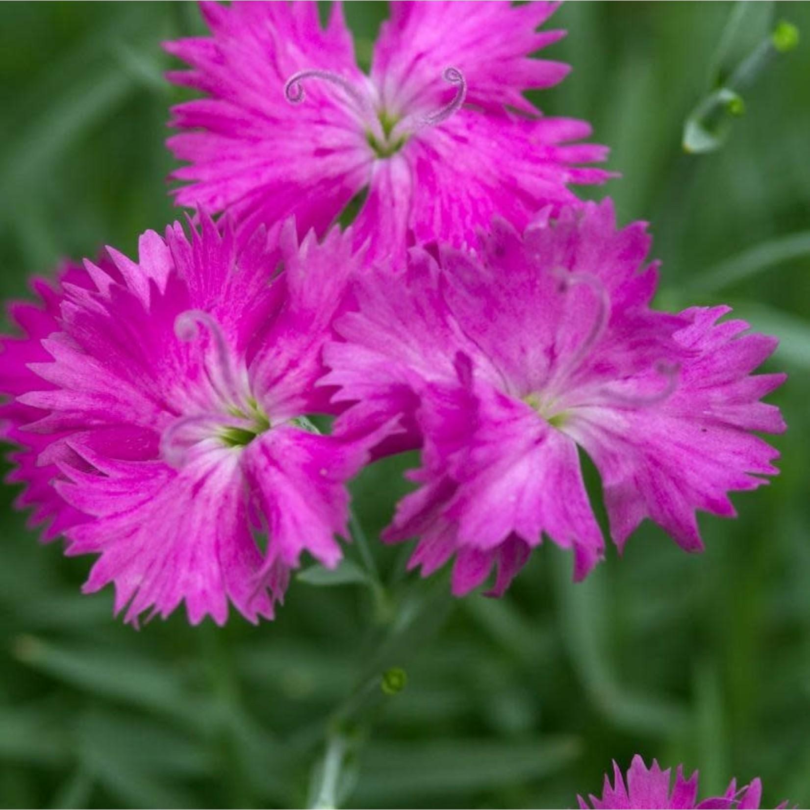 """Dianthus 'neon star' - 4"""""""