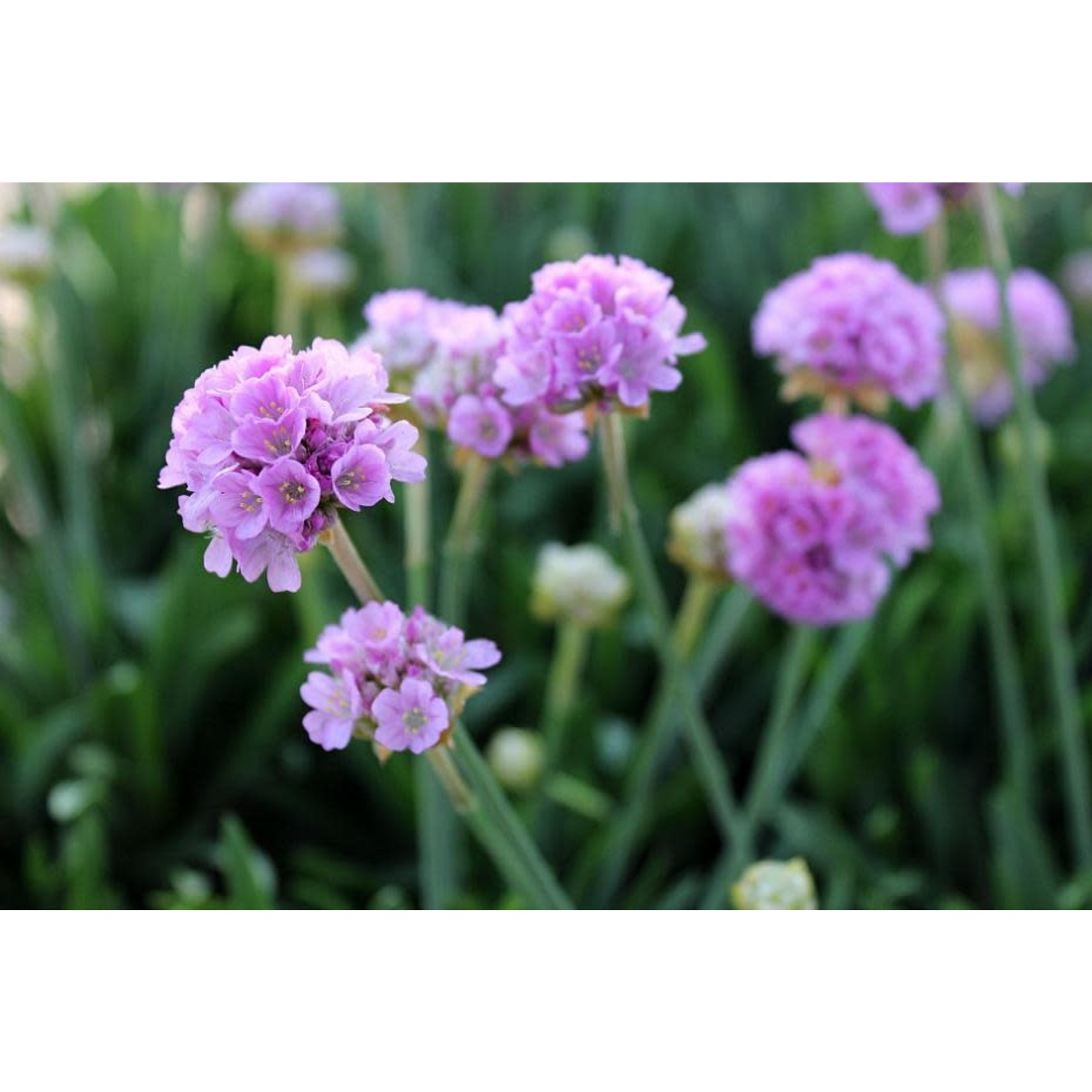 Thrift 'armeria sweet dreams' - 1 gal