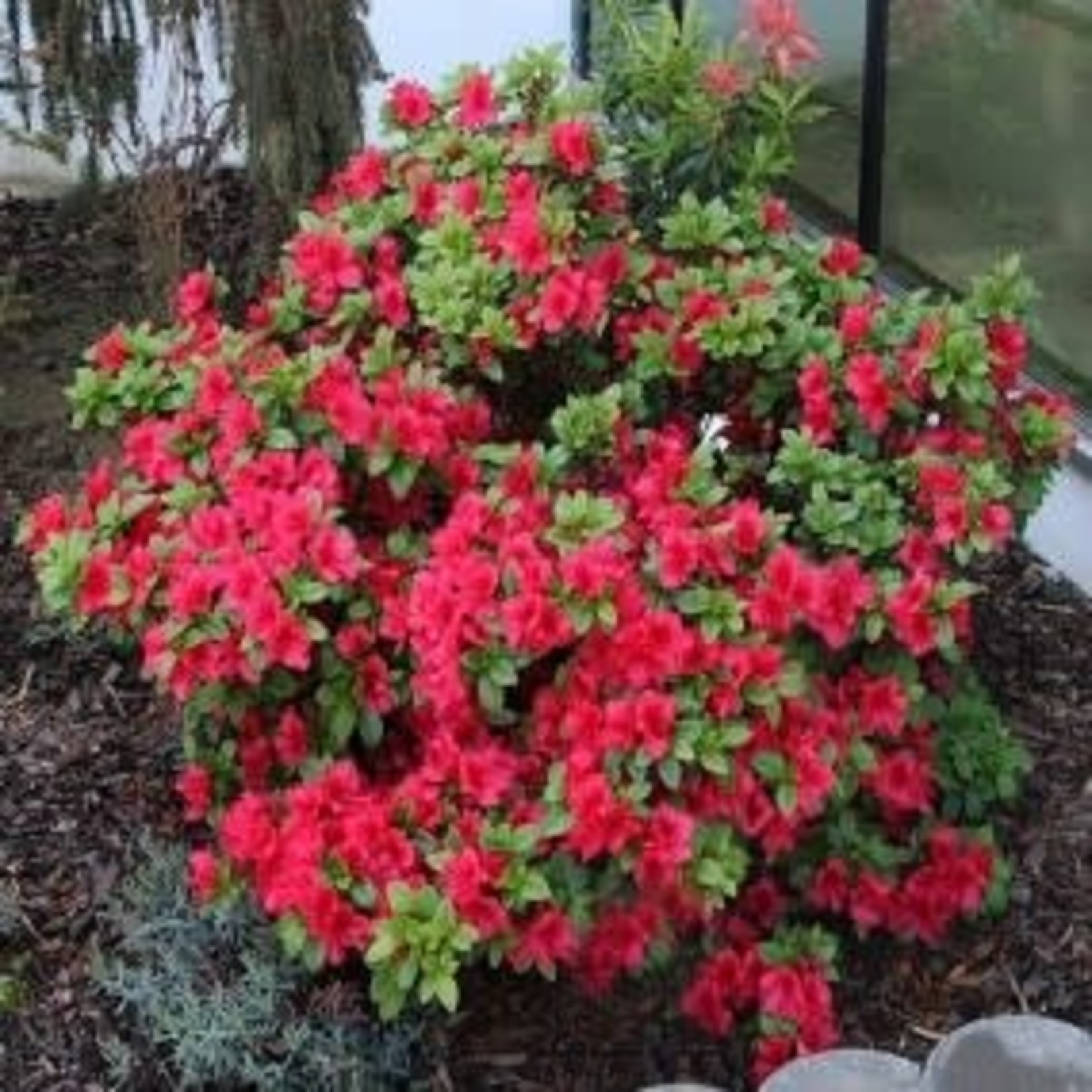 Azalea 'red demon' 2 gal