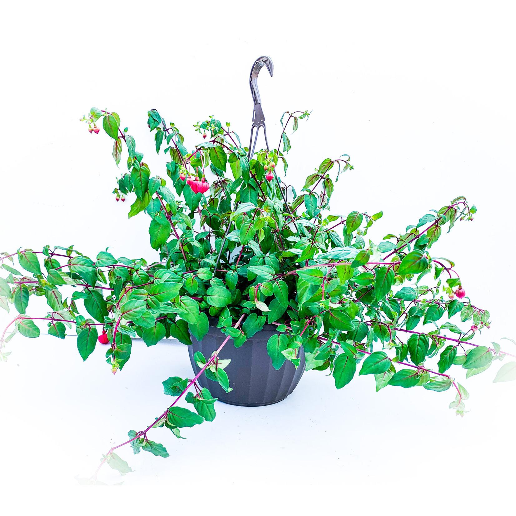 "Fuchsia Assorted 10"" HB"