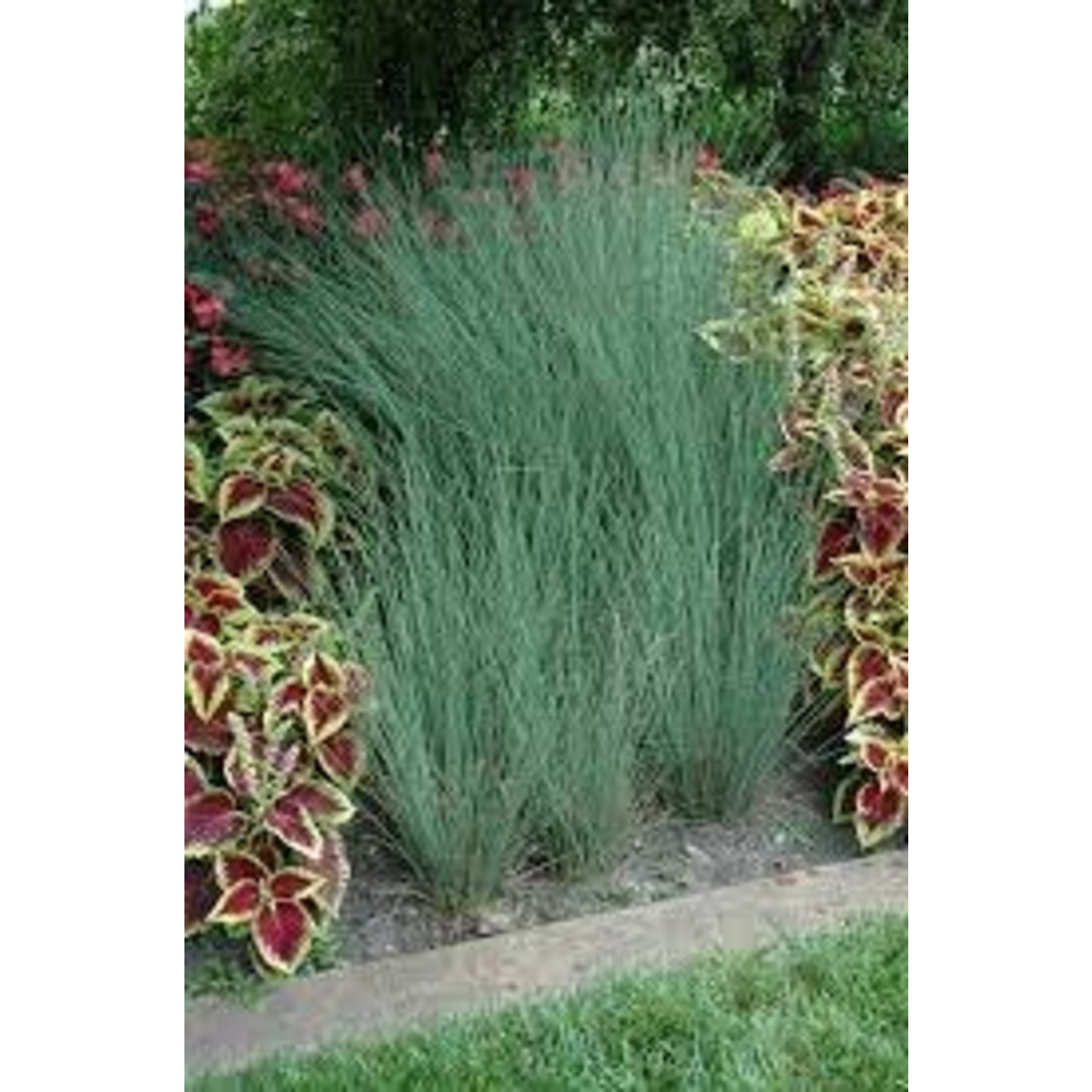 Juncus 'blue arrows' 4.5""