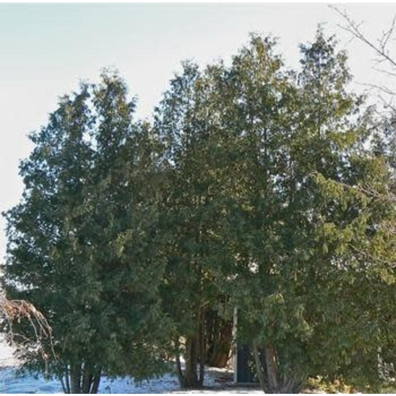 Cedar 'eastern white'