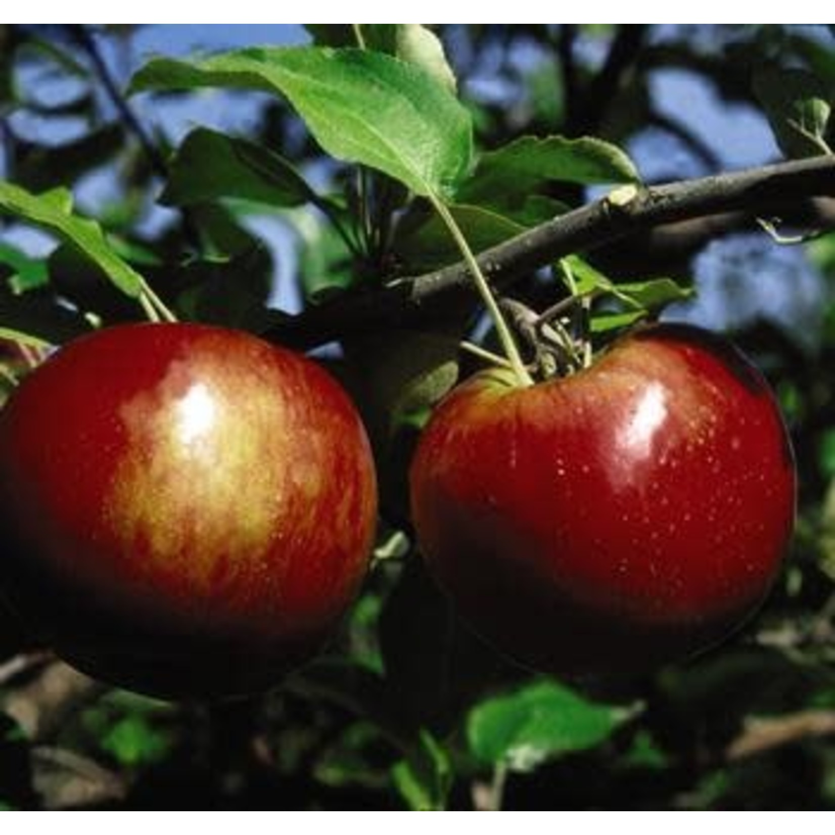 Apple 'Cortland'