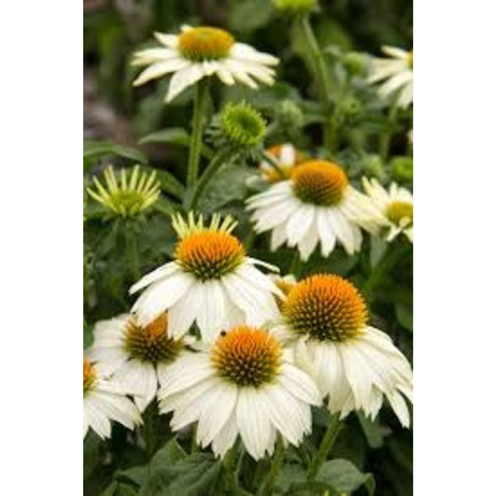 "4"" Perennial\ Cone Flower - Echinacea Pow Wow White"
