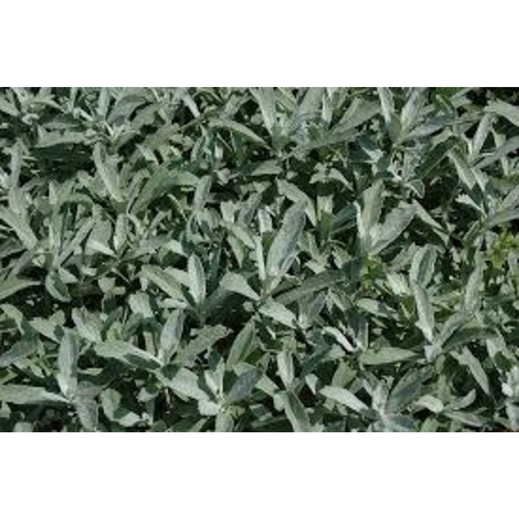 "4"" Perennial\ Artemisia Silver King"