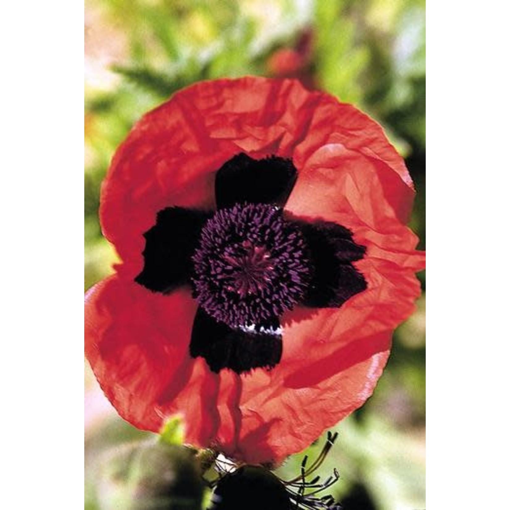 "4"" Perennial\ Poppy - Brilliant"