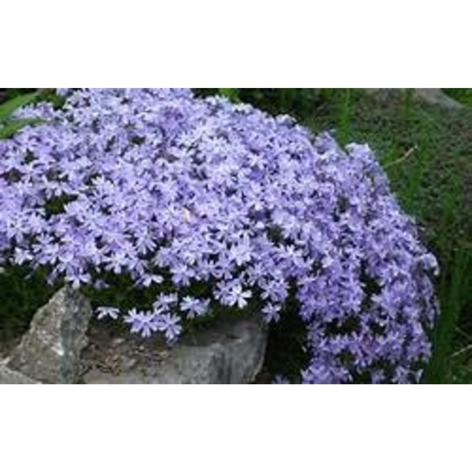 "4"" Perennial\ Creeping Phlox - Emerald Blue"