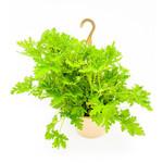 """Citronella 'Geranium Citrosa' - 10"""" HB"""