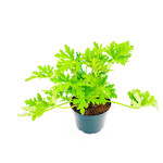"""Citronella 'Geranium Citrosa' - 6"""""""