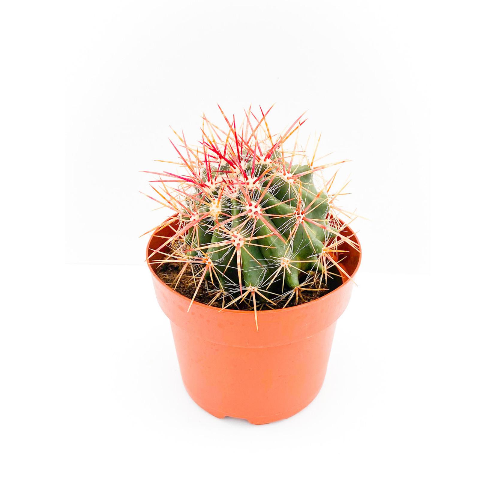 """Cactus 5"""""""