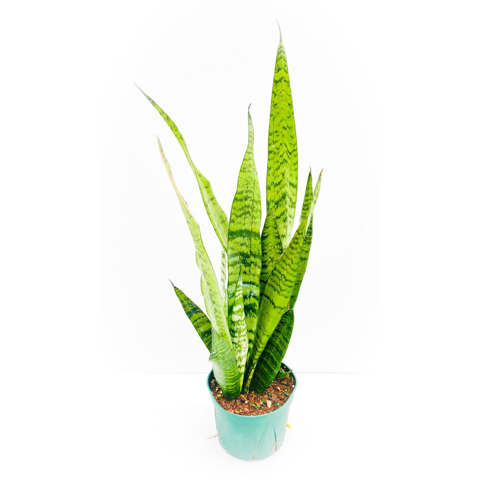 """Snake Plant 6"""""""