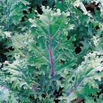 Kale - Red Russian 4 Cell Pack