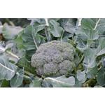 Broccoli - Premium Crop 4 Cell Pack