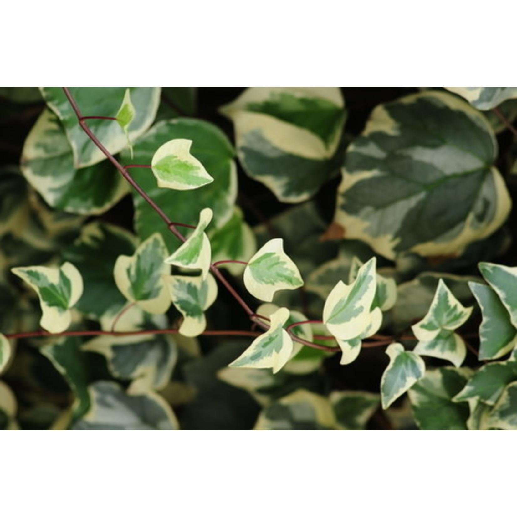 """Ivy 'hedera marengo varigated' 4"""""""