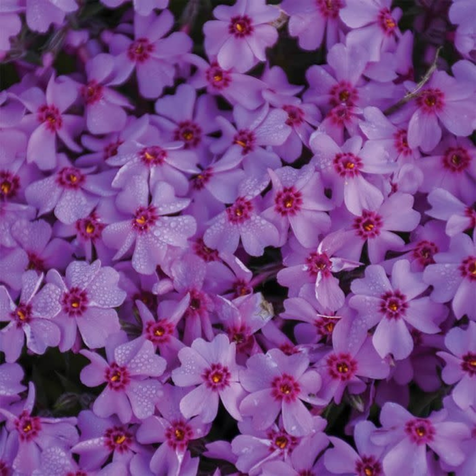 Creeping Phlox - Eye Caramba 1 gal
