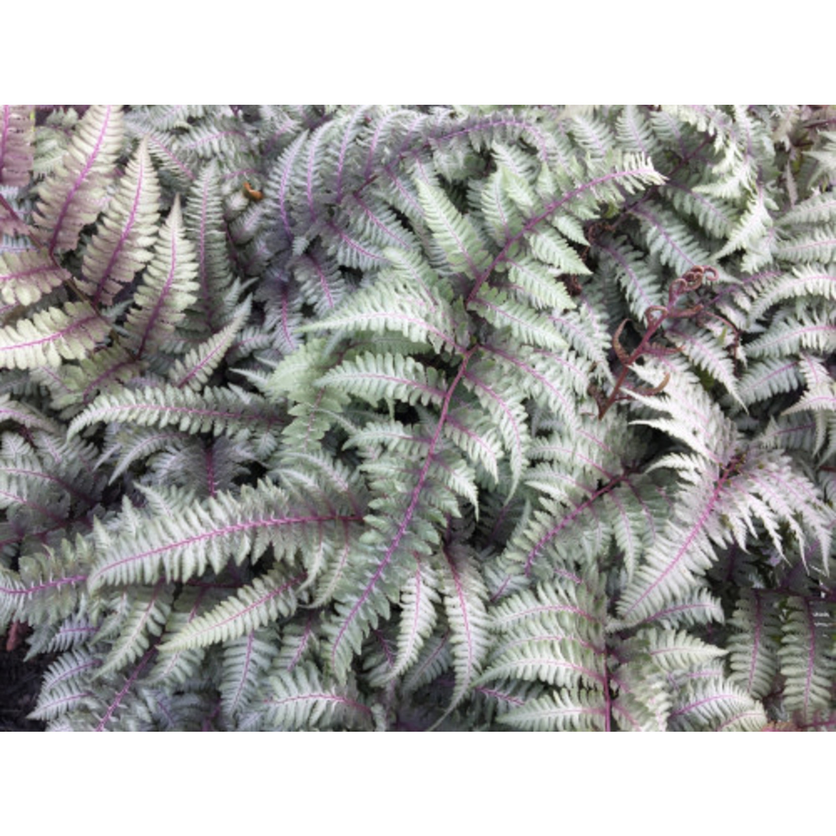 Fern 'japanese painted' 1 gal