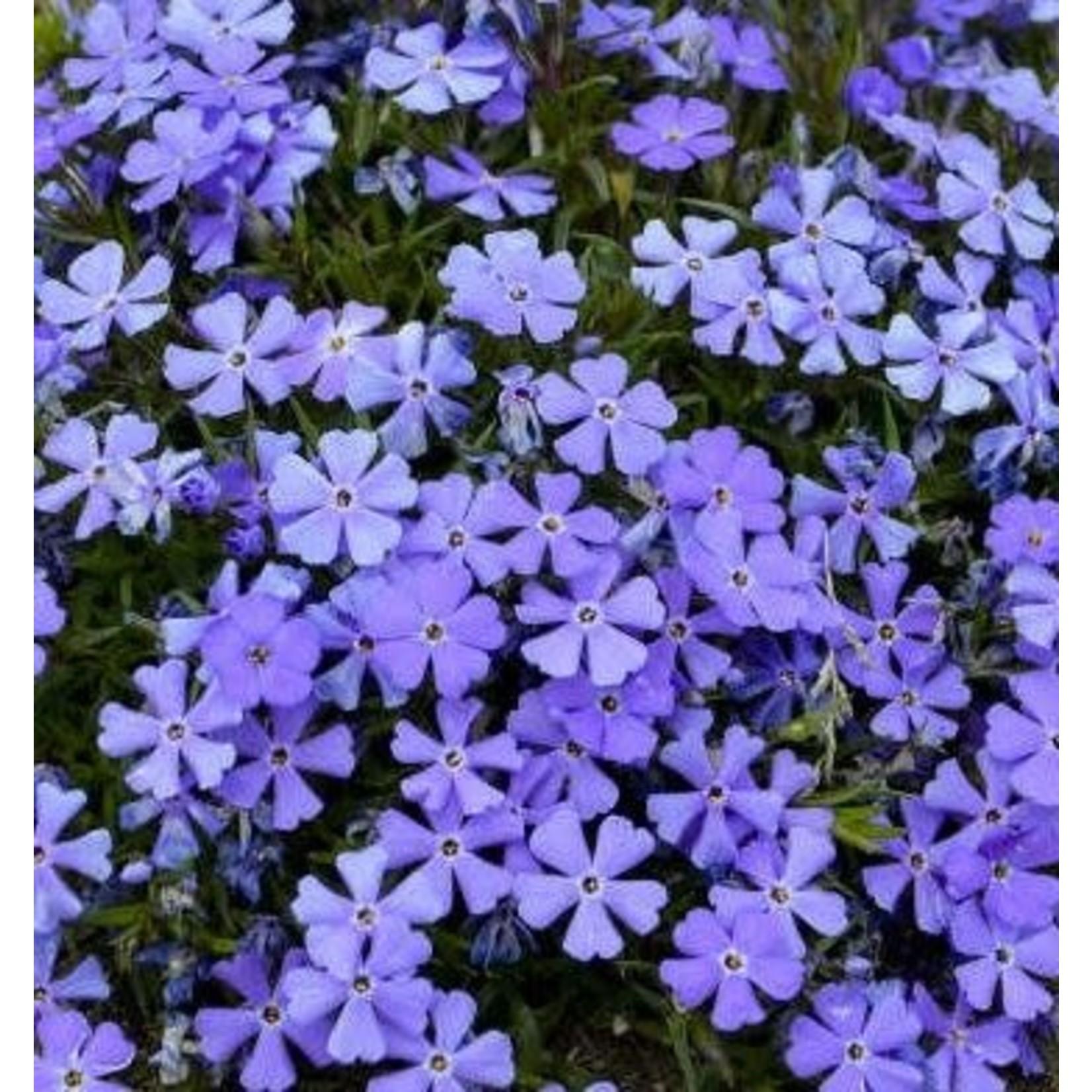 Creeping Phlox - Rocky Road Violet Blue - 1 gal
