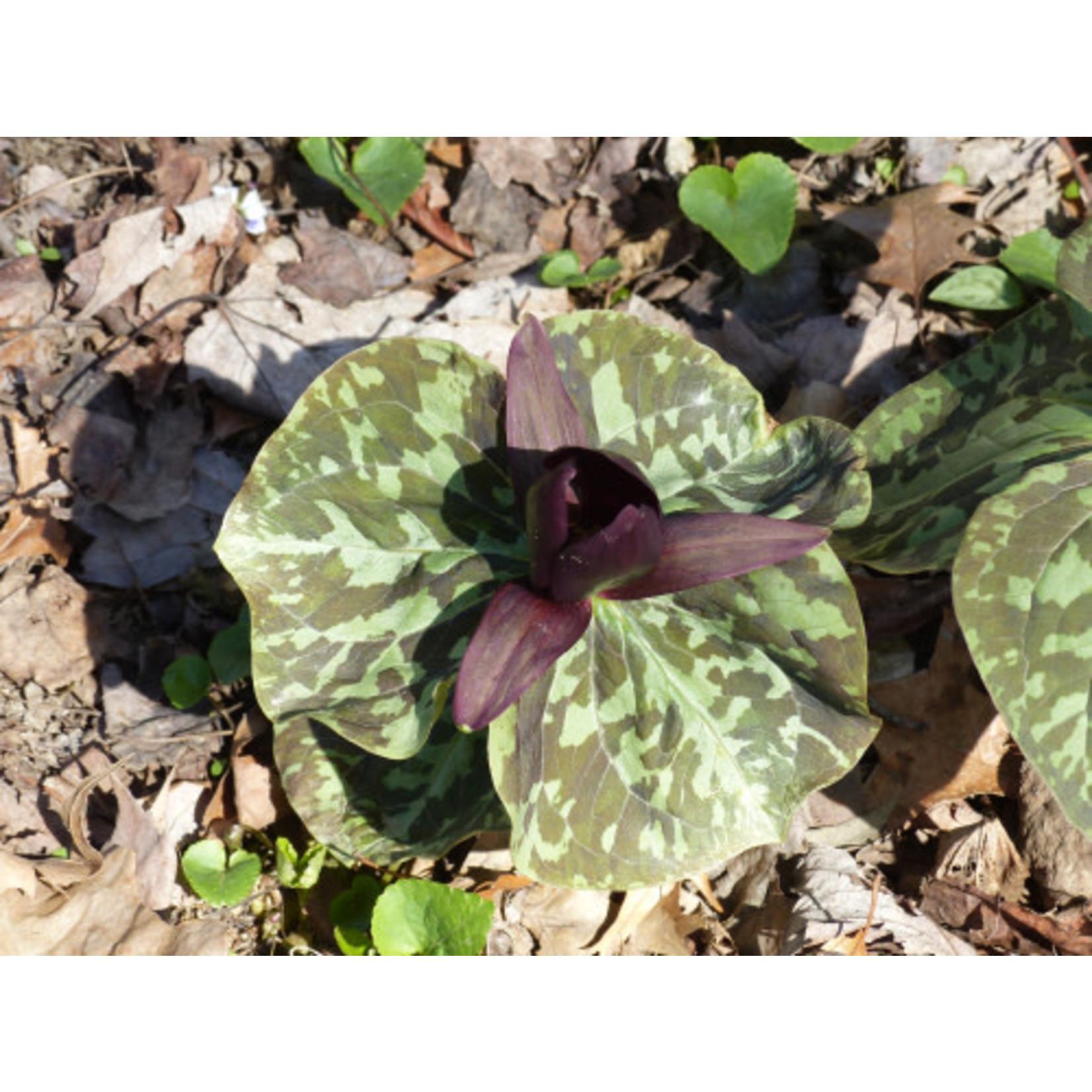 """Trillium 'Red Toad' - 4"""""""