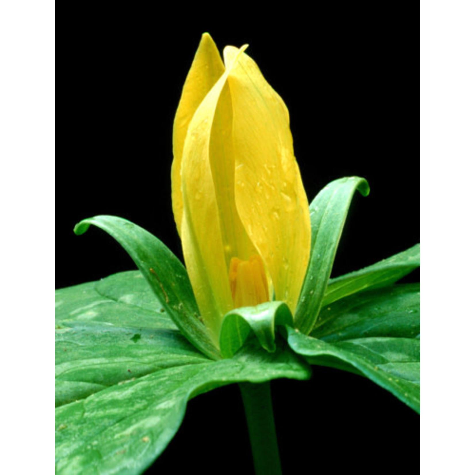 """Trillium 'Luteum Yellow Toad' - 4"""""""