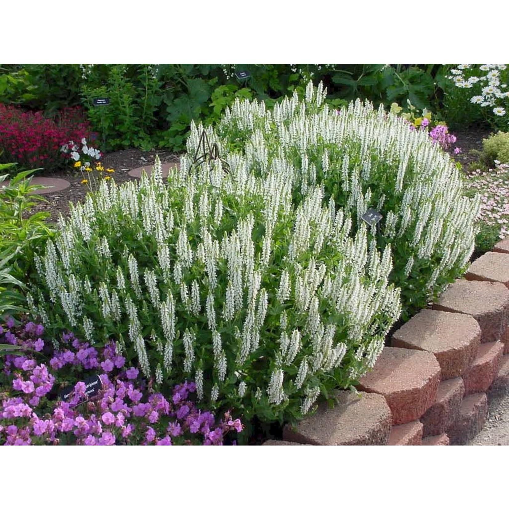 """4"""" Perennial\ Perennial Sage 'Snowhill' - 4"""""""