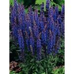 """4"""" Perennial\ Perennial Sage - New Dimension Blue 4"""""""