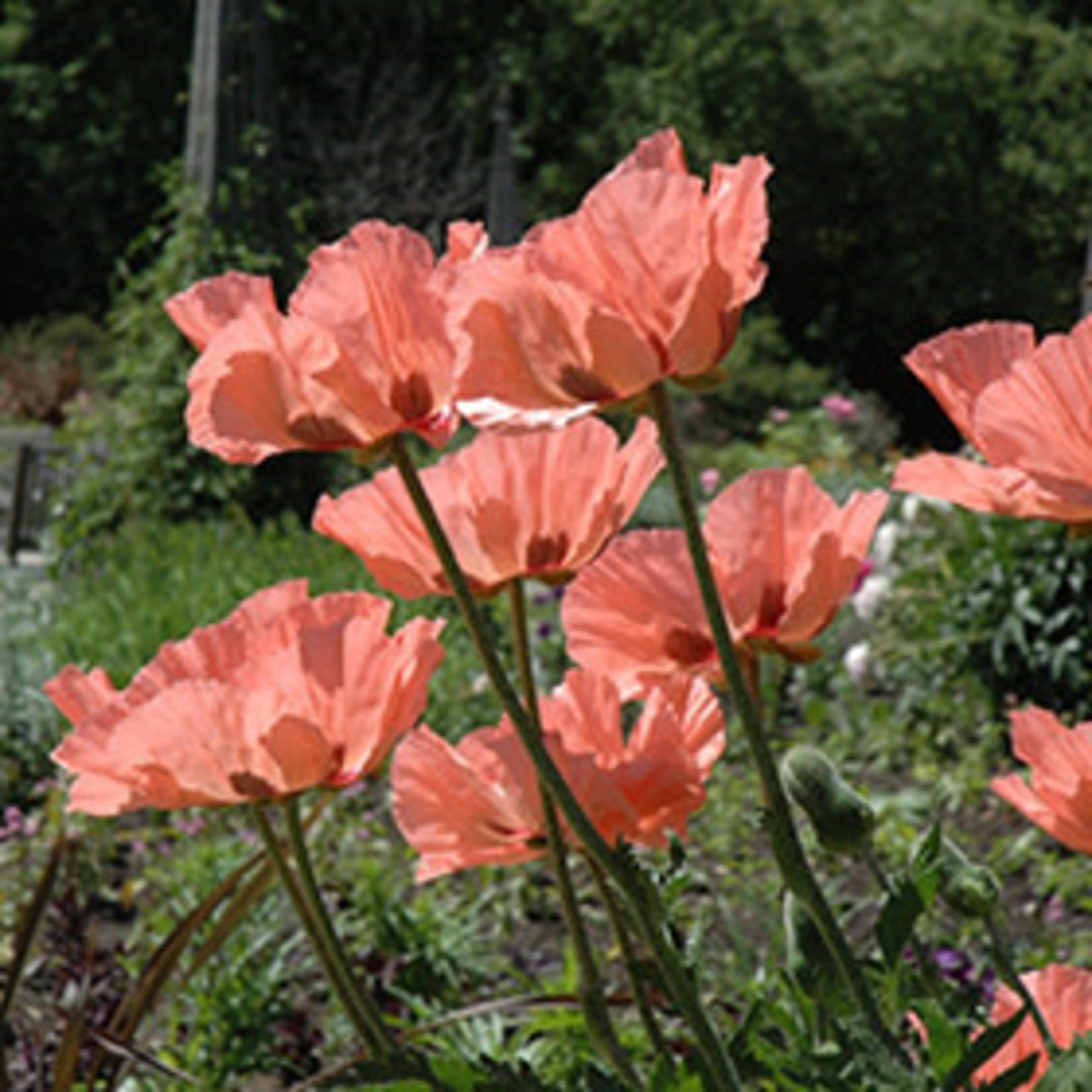 "4"" Perennial\ Poppy - Princess Victoria Louise - 4"""