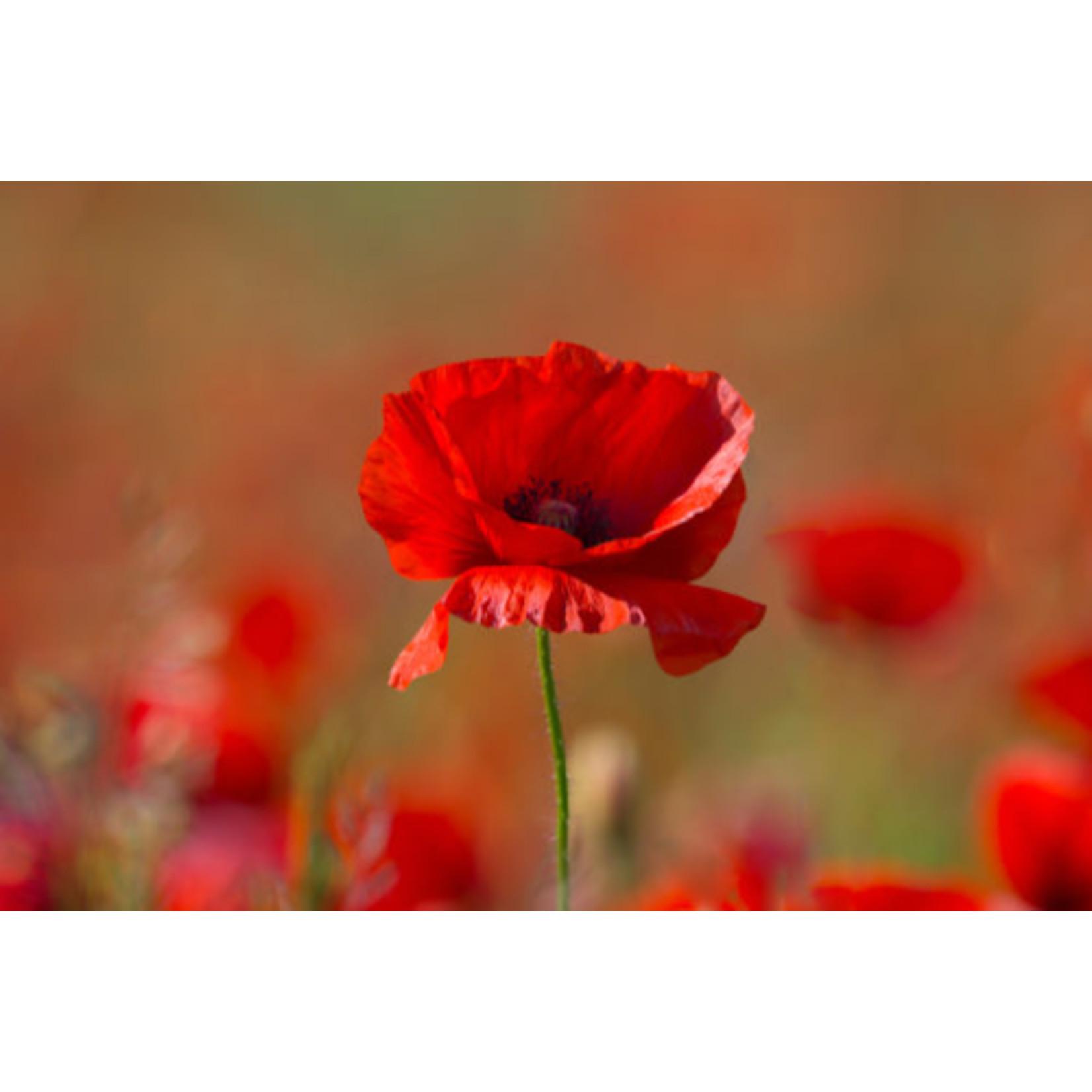 "4"" Perennial\ Poppy - Allegro- 4"""