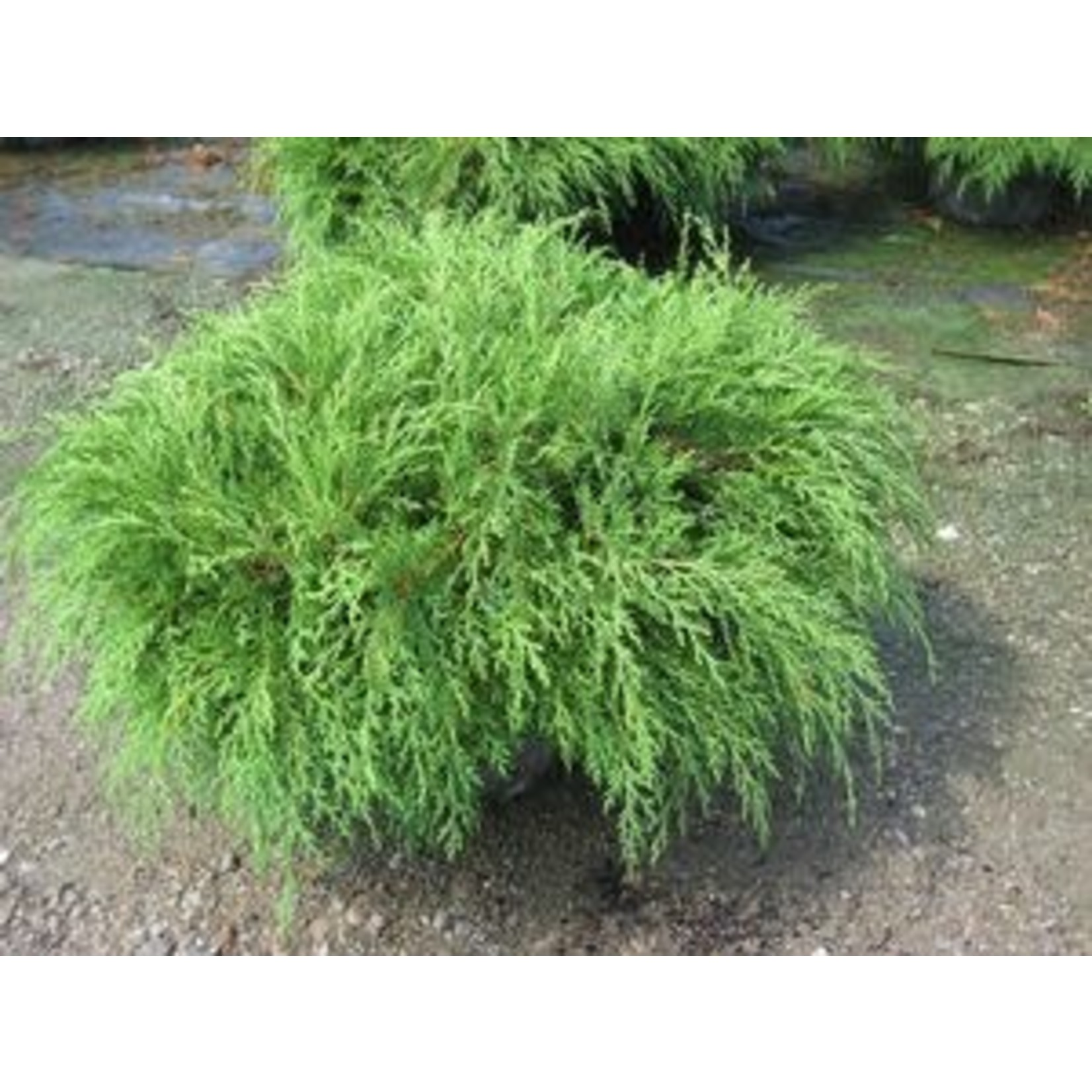 Russian Cypress 'celtic pride' 2 gal