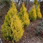 Cypress 'Soft Serve gold' 2 gal