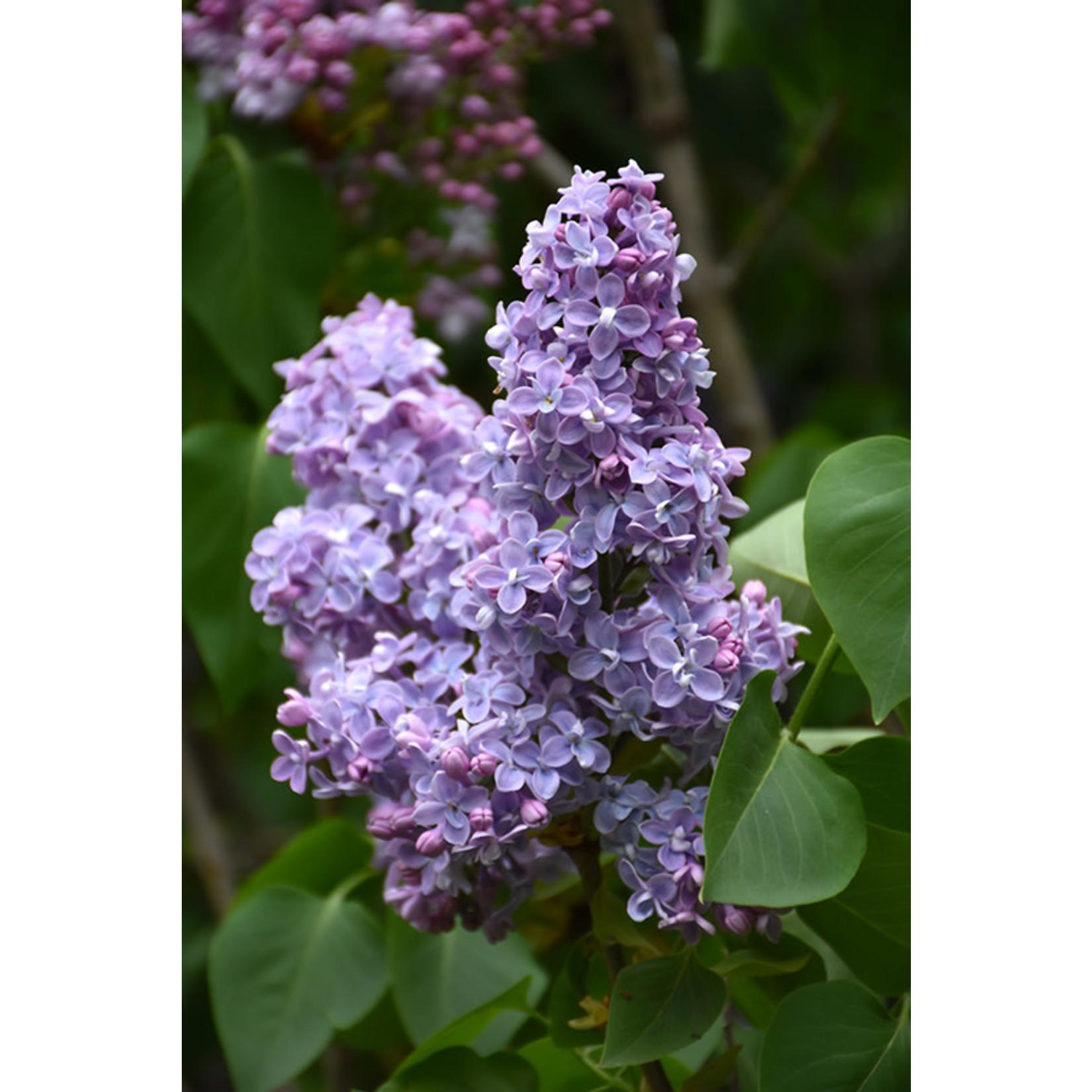 Lilac 'president grevy' 3 gal